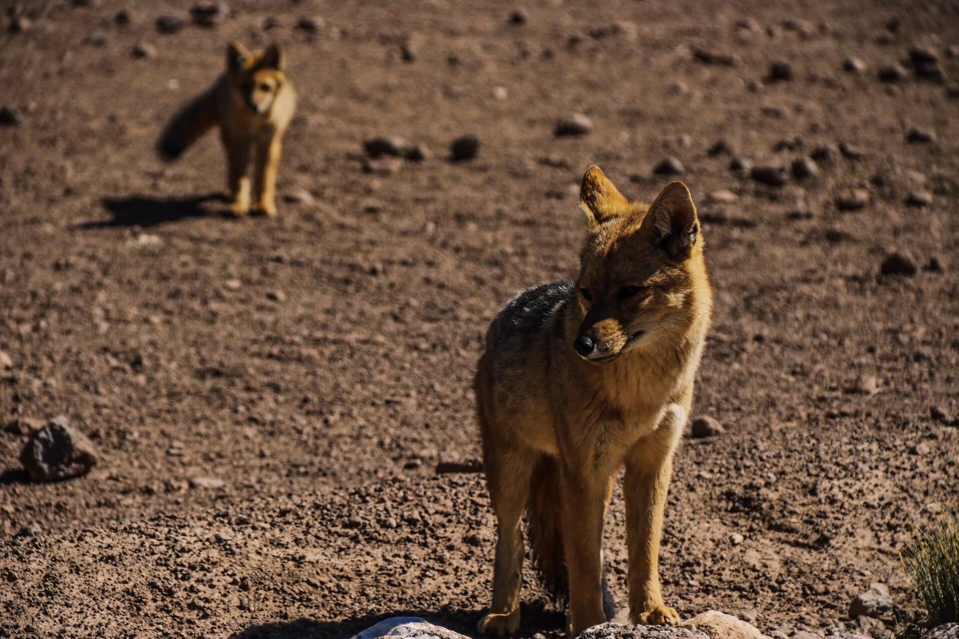 Wildlife near the Tatio Geysers.