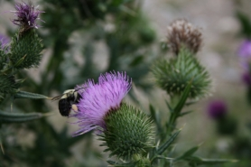 Bee pollinating flower in high definition with purple flower and green spiked stem