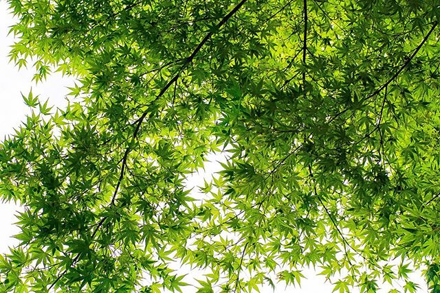 Well Japan, you are gorgeous. Beautiful maples, green rice fields and the biggest bamboo ever! . . . #green #maple #nature #bamboo #rice #ricepaddies #ricepaddy #nature #japan #japannature
