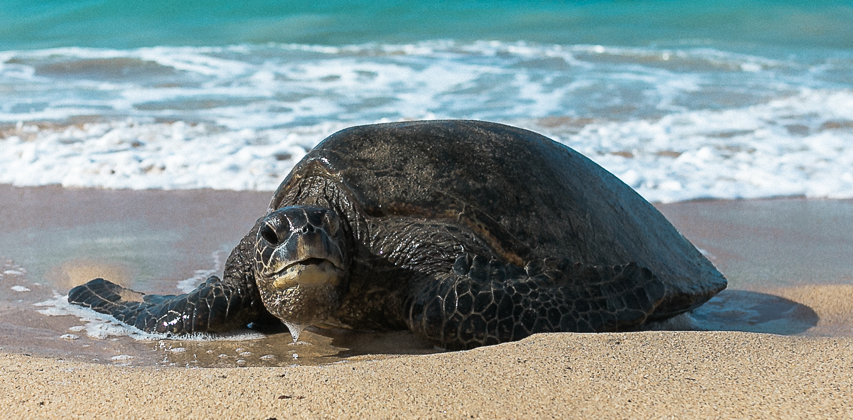 Hawaiian Sea Turtle, Hawaii Pet Photographer, Maui Pet Photographer