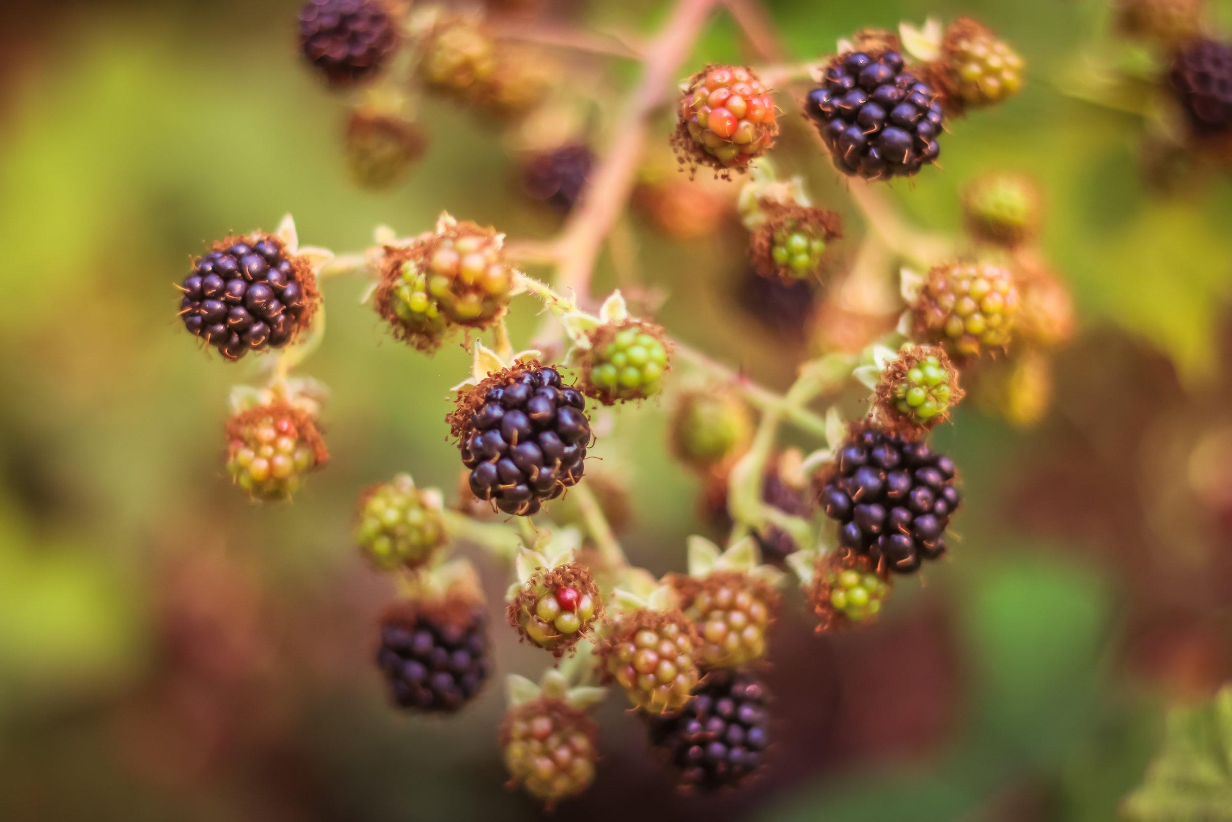 Blackberries-8.jpg