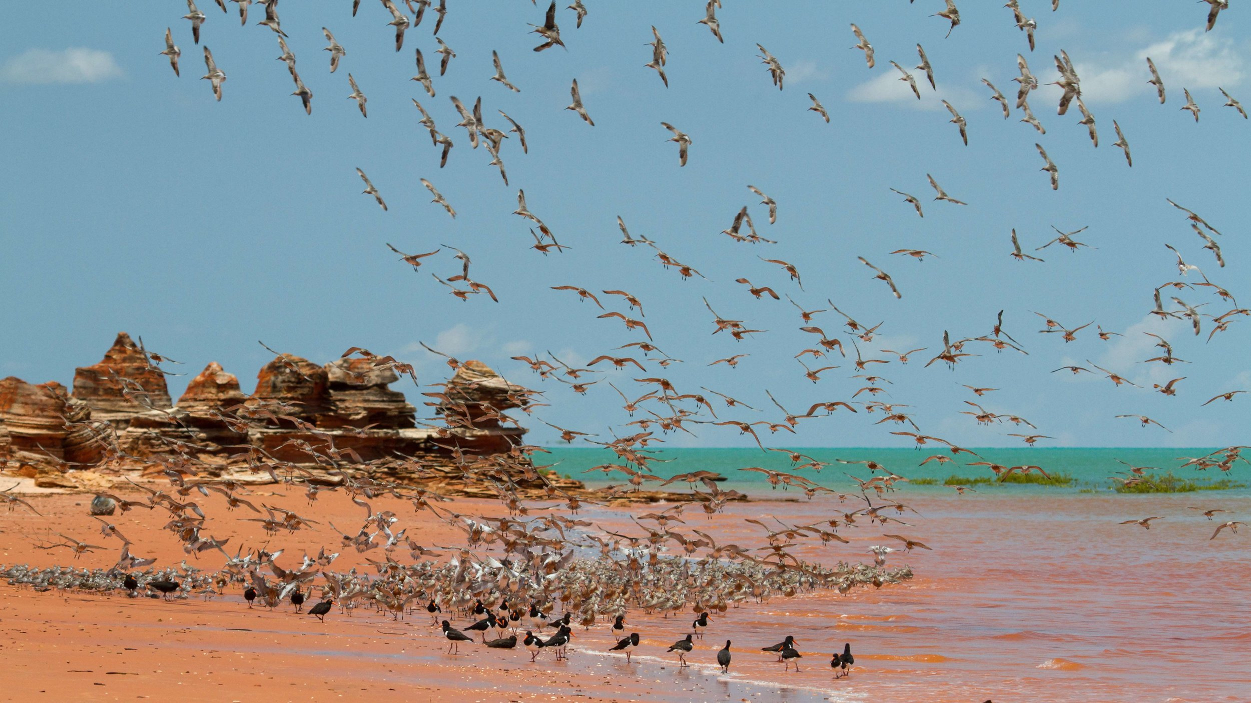 Shorebirds on Roebuck Bay.jpg