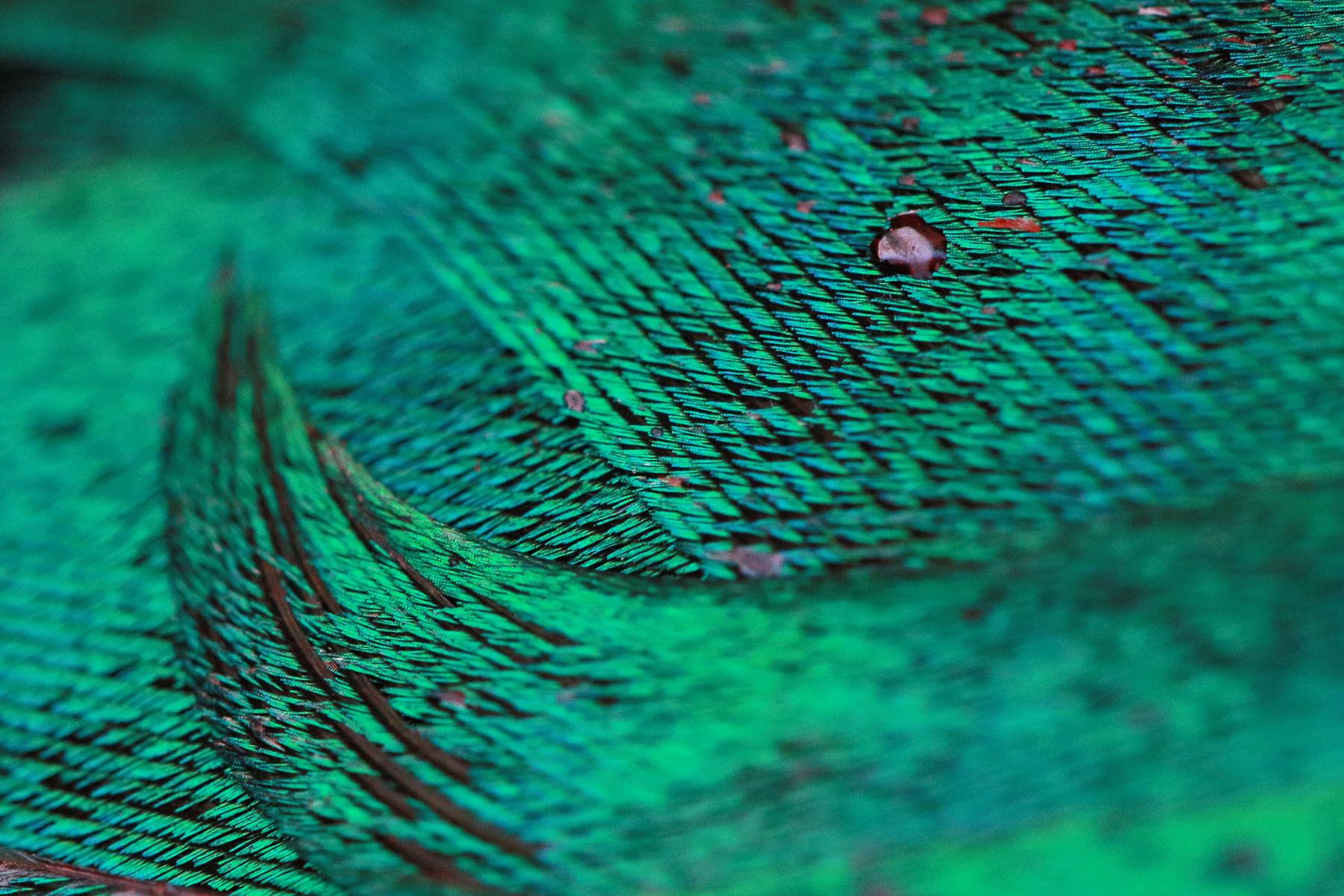 36. Pacific Black Duck by Thomas Hunt.jpg