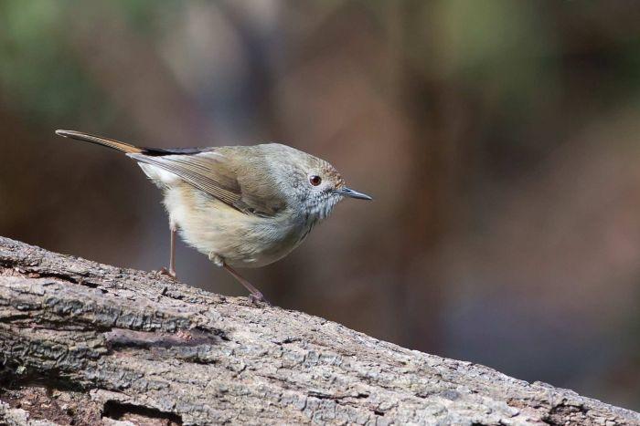 King Island thornbill adrian boyle.jpg