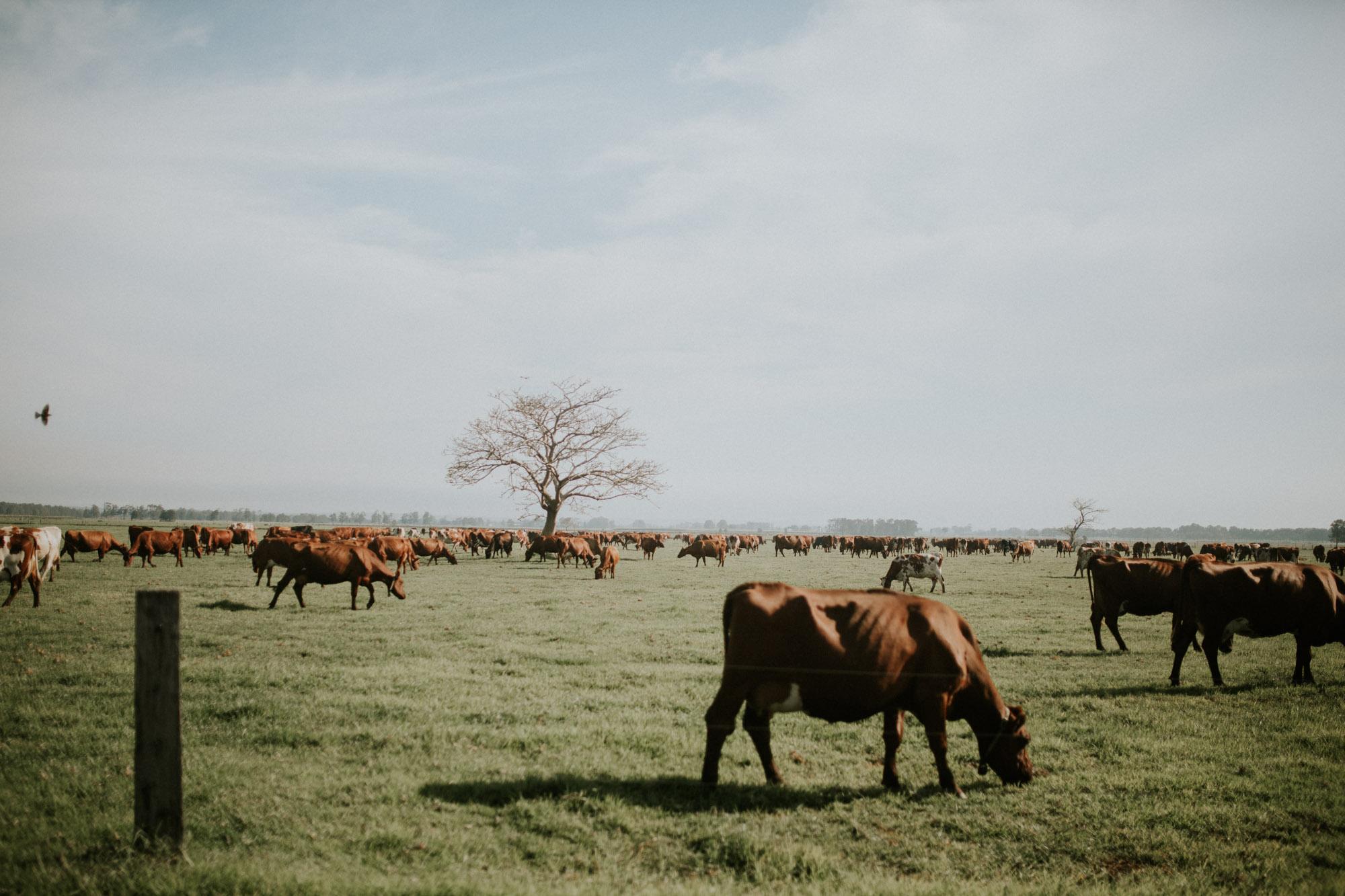South Coast Dairy Farm