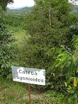 coffea-eugenioides.jpg