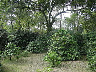 coffee-plants.jpg