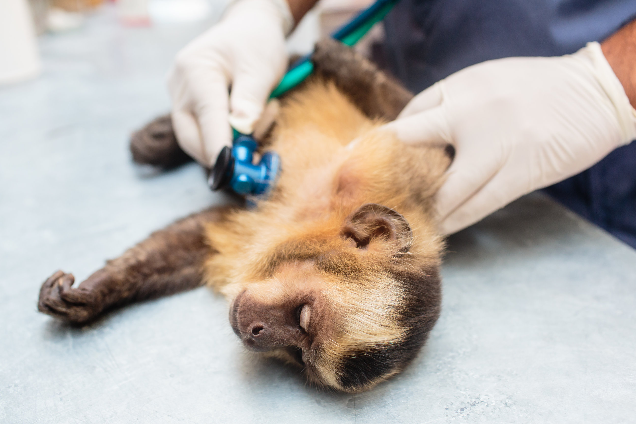 PHOTO: TRACEY BUYCE  A capuchin monkey undergoing a procedure.
