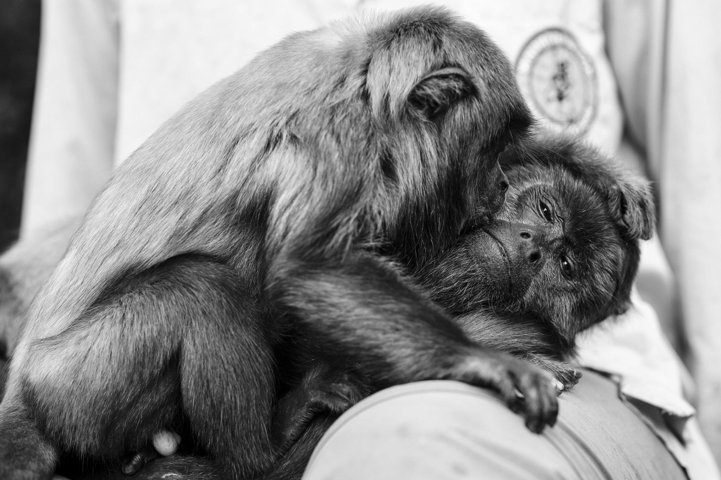 PHOTO: TRACEY BUYCE  Howler monkeys.