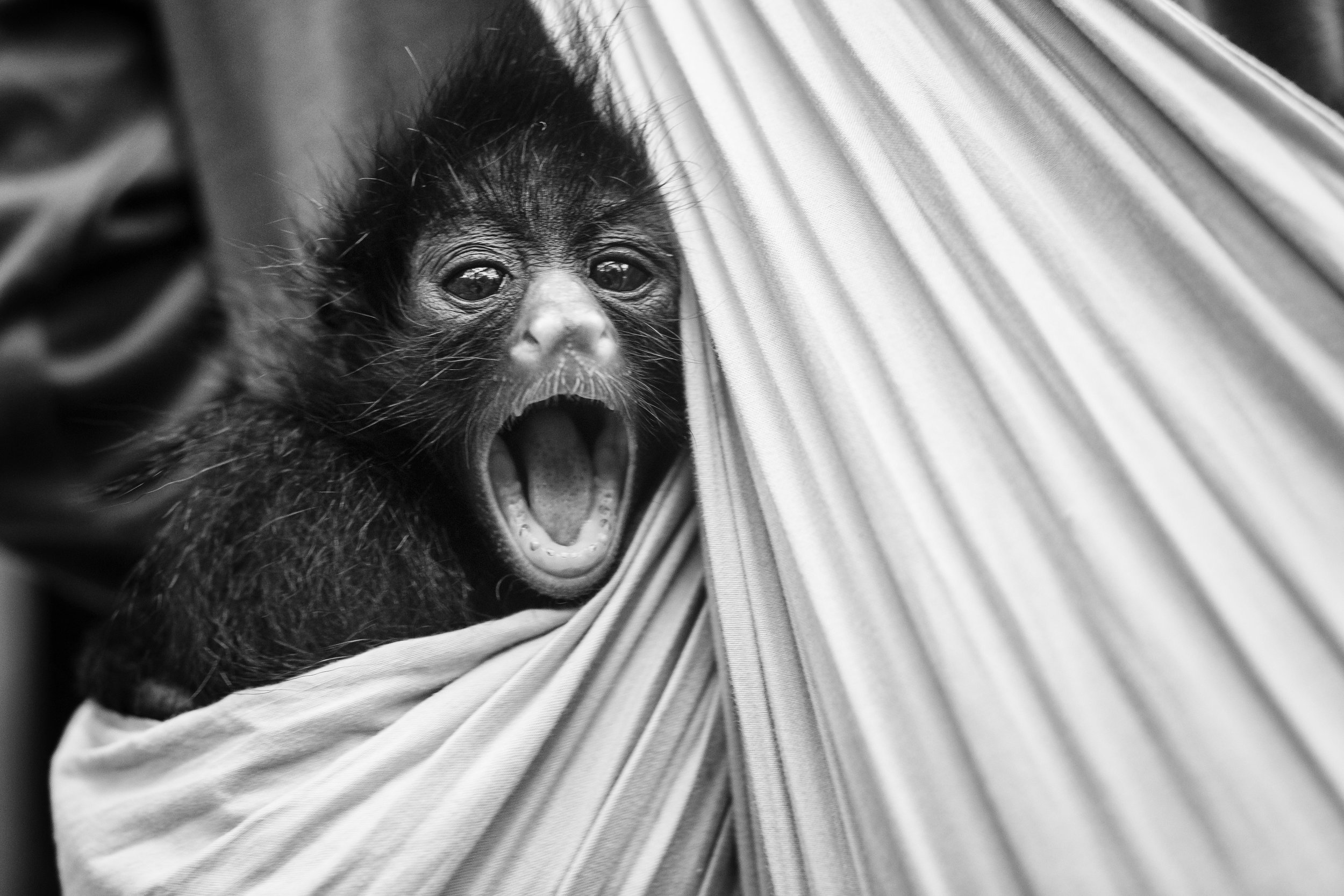 PHOTO: TRACEY BUYCE    Baby Spider monkey in nursing care.