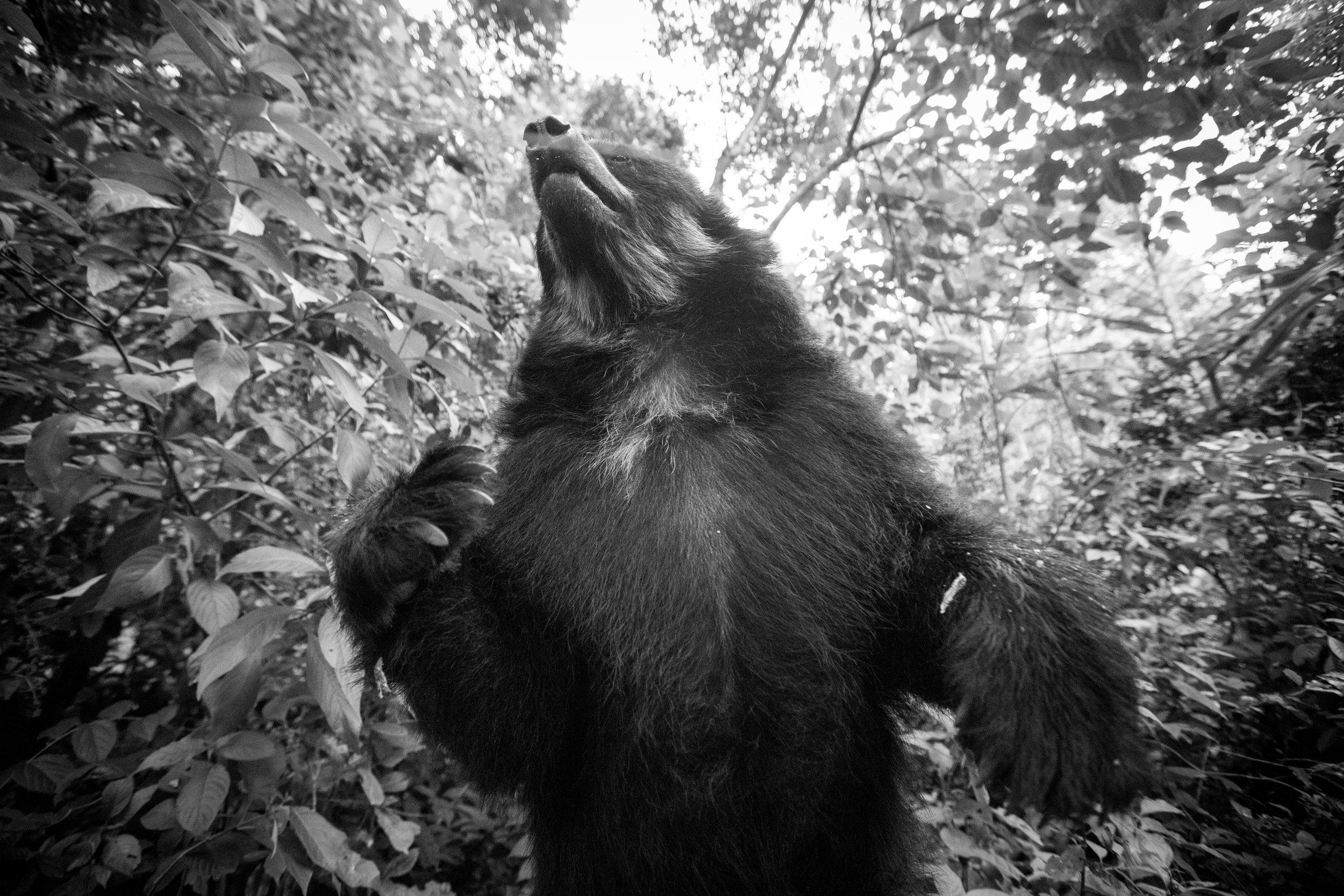 PHOTO: KRISTI ODOM  Andean bear.