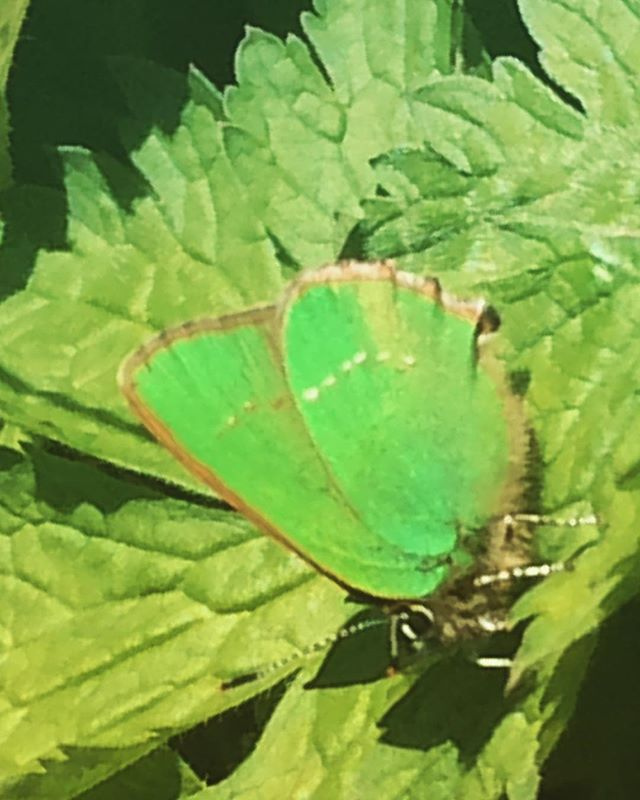 Green Hairstreak in garden 😊