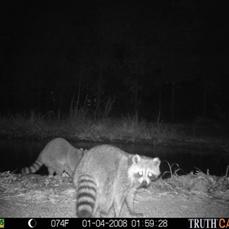 Gate raccoon.png