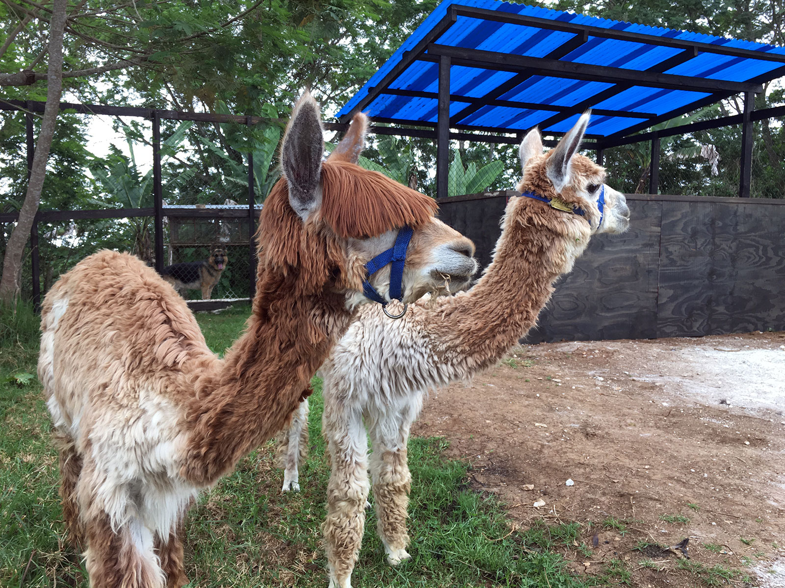 "Alpacas ""Jack & Bucky"""