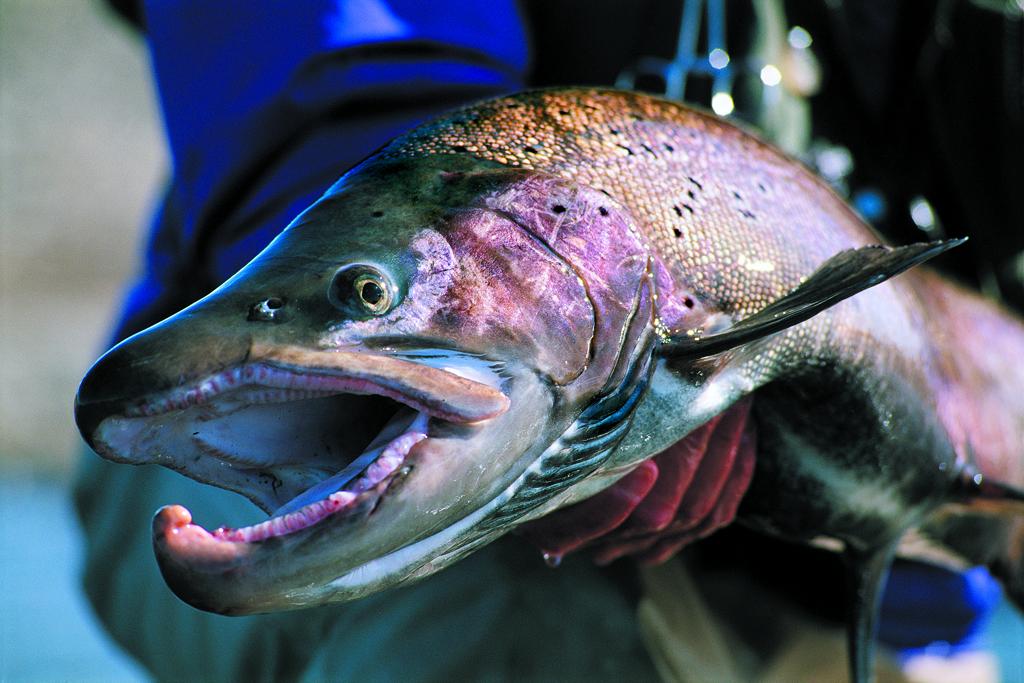 Searun brown trout