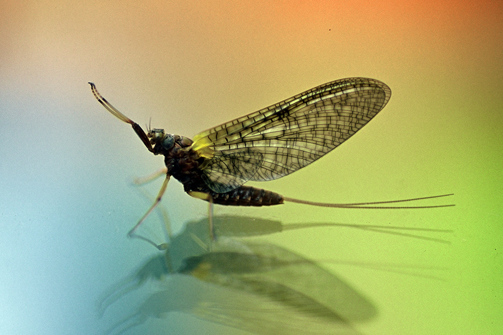 Mayfly on the windshield in New Zealand