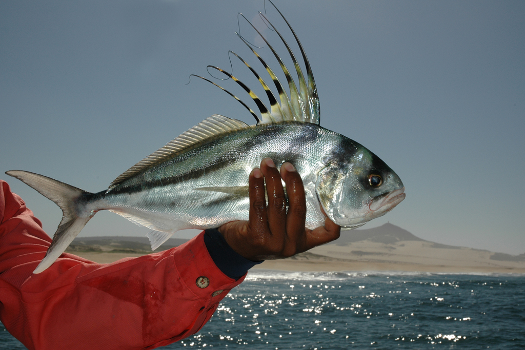 Picasso triggerfish, Indian Ocean