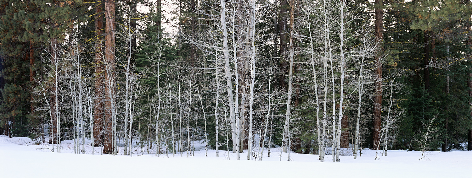 Winter Aspens and Pine Forest Panorama