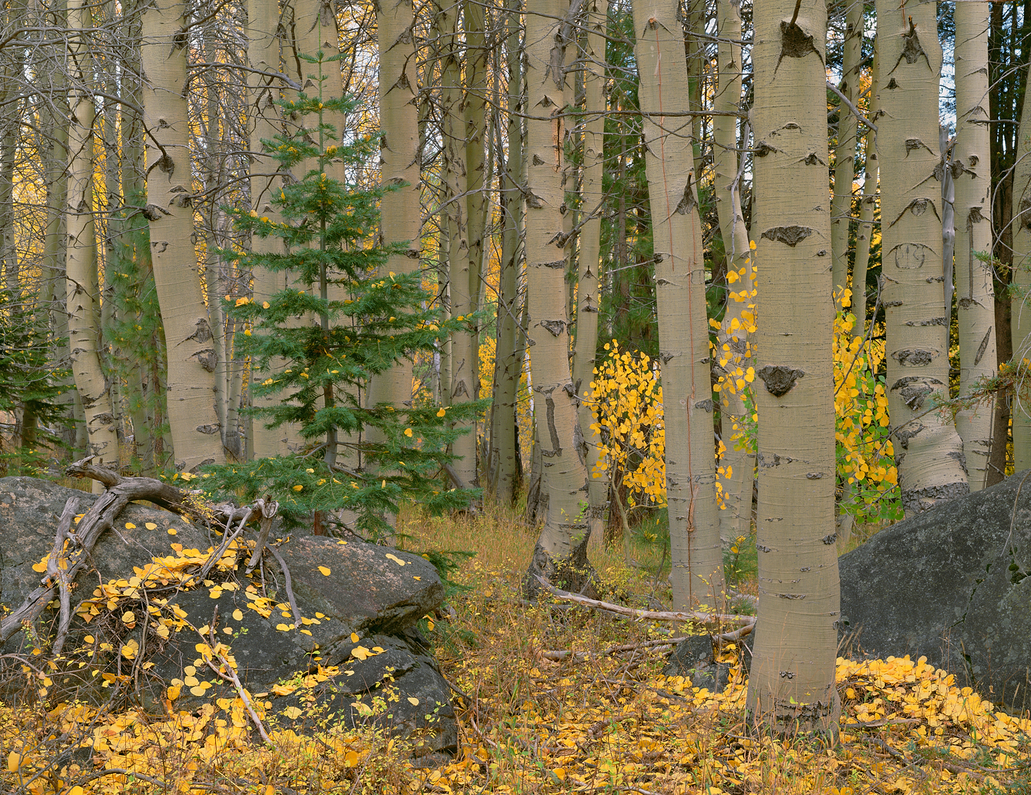 Aspen, Pine and Boulders
