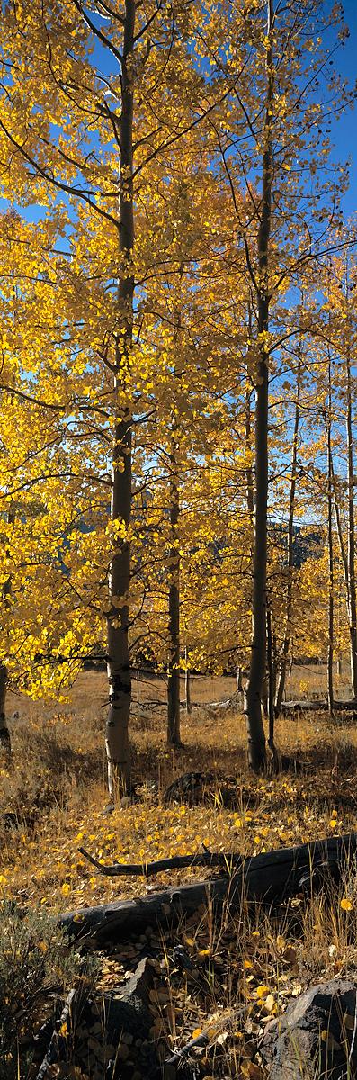 Hope Valley Aspens Vertical Panorama
