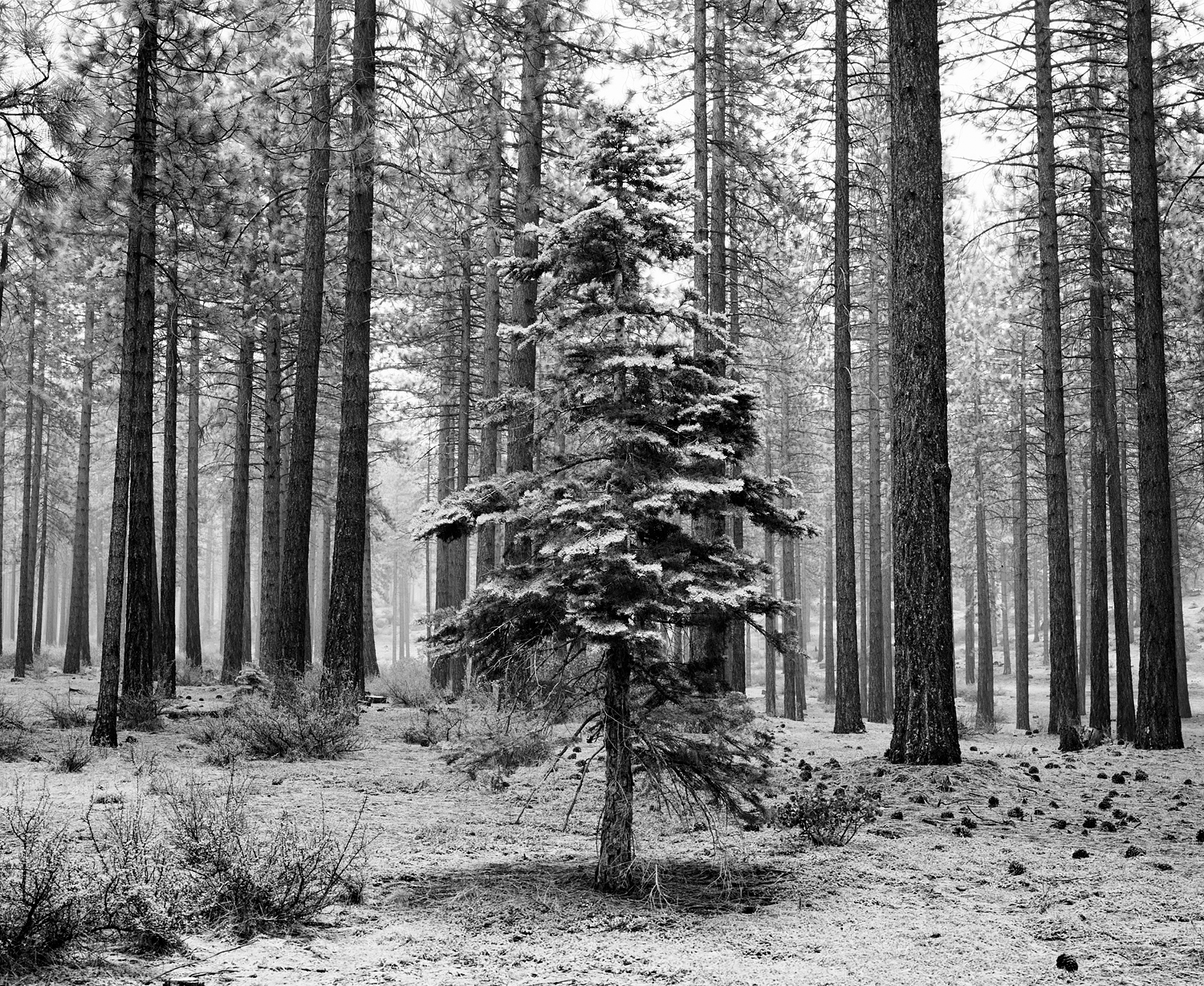 Pine Forest, Falling Snow Black and White