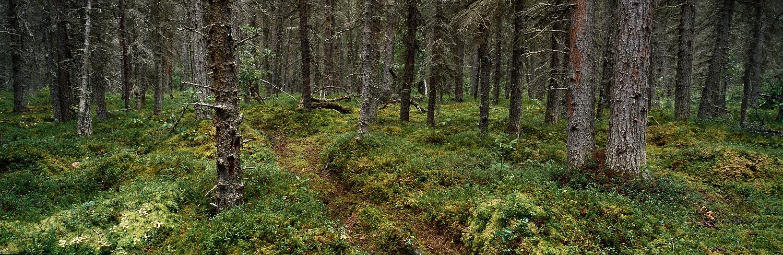 Brown Bear Trail Panorama, Katmai, Alaska
