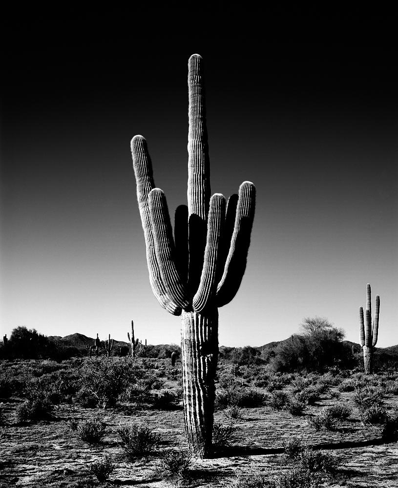 Saguaro IV Black & White, Arizona