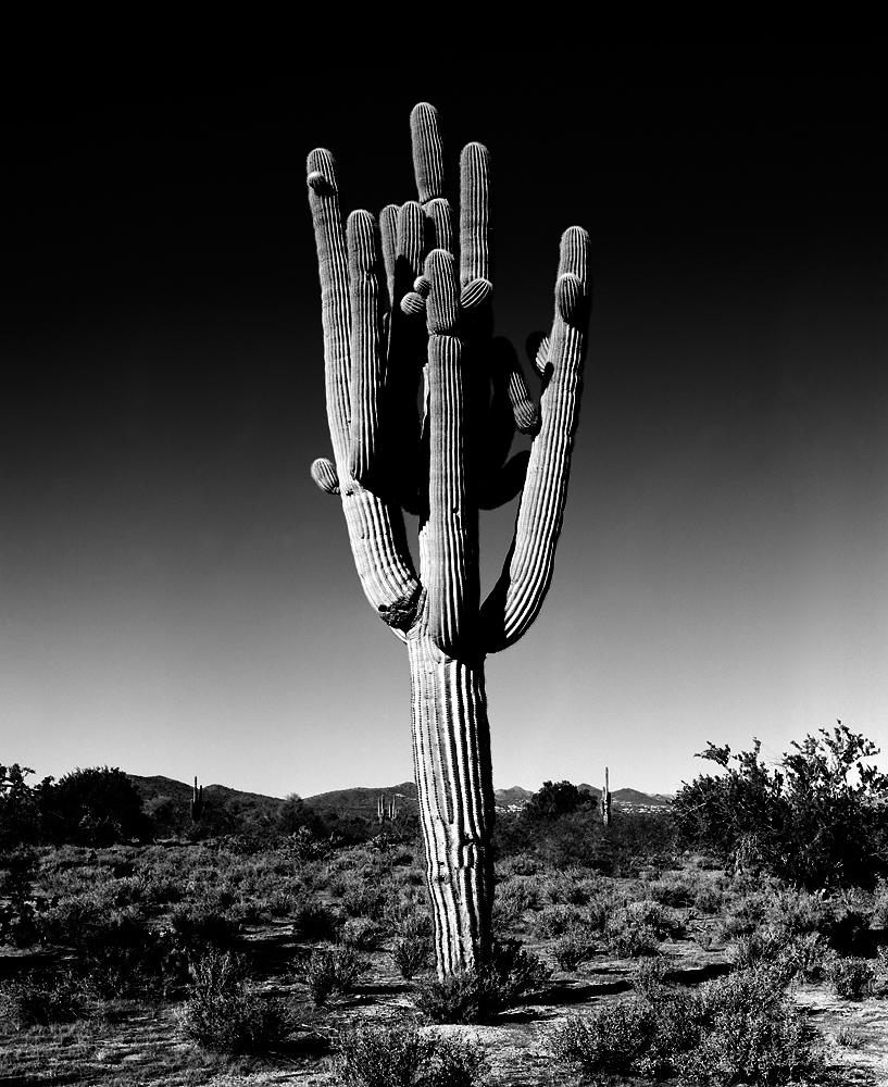 Saguaro Saguaro V Black & White, Arizona