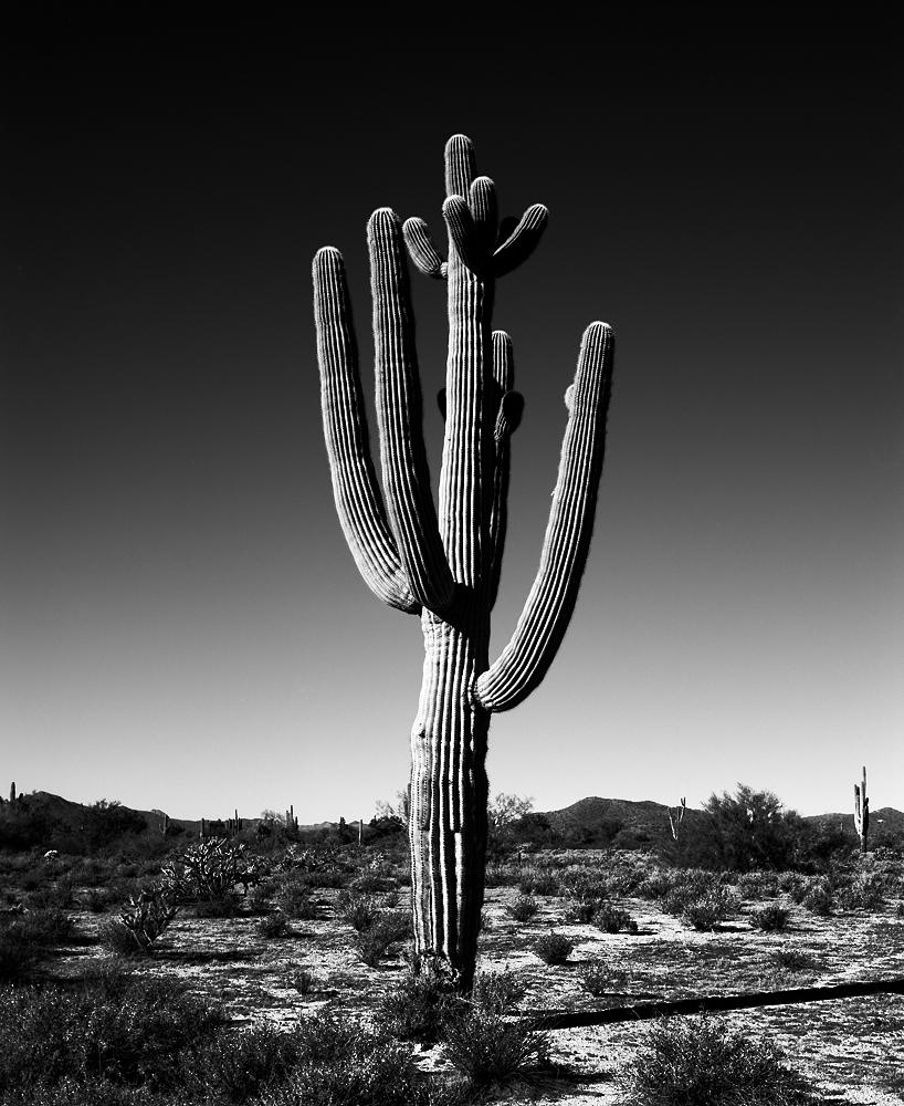 Saguaro VIII Black & White, Arizona