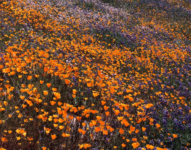 Wildflowers, Merced River canyon, California
