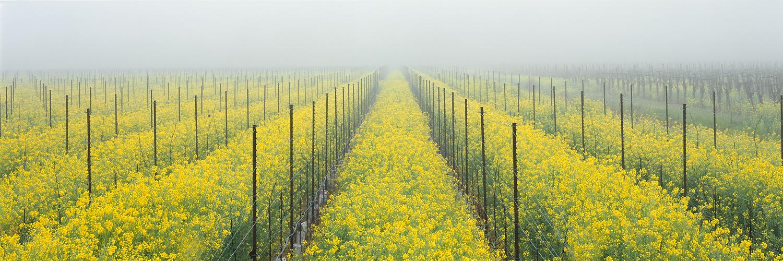 Mustard and Fog Panorama, Wine Country, California