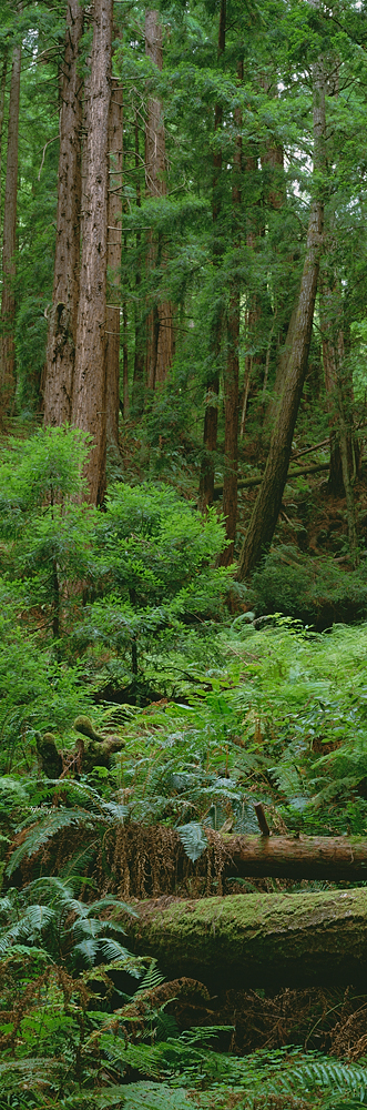 Redwood Forest Detail, Butano State Park, California