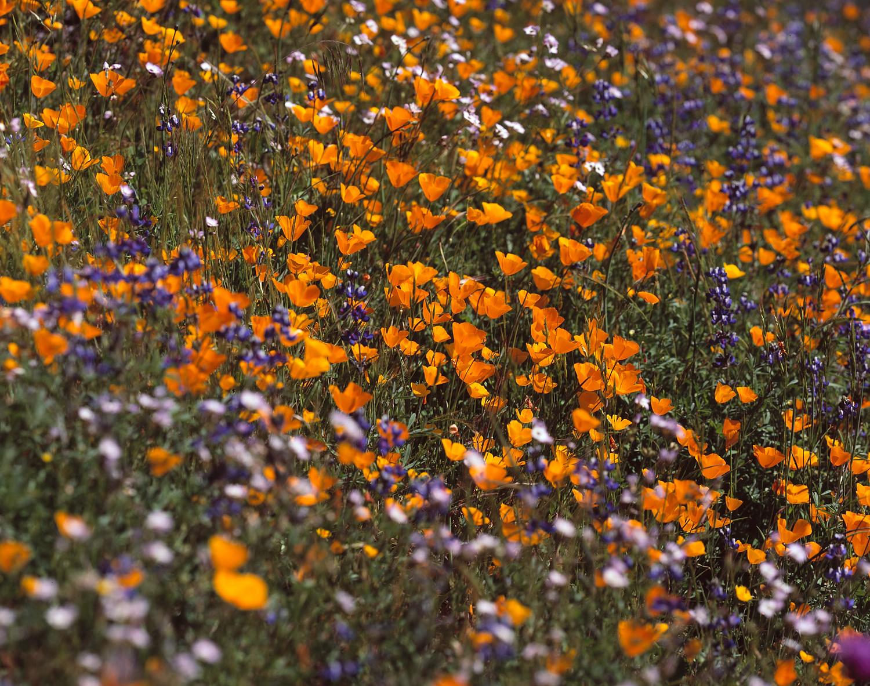 Monet's Poppies, Merced River Canyon, California