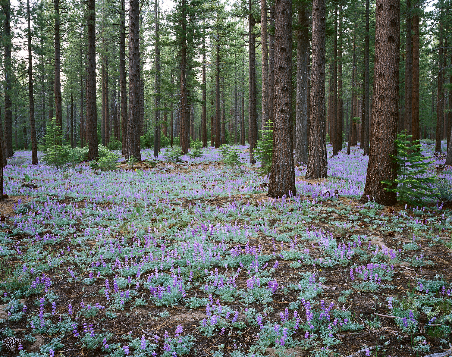 Dwarf Lupine and Pine Forest