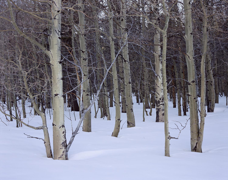 Quiet Aspens and Snow