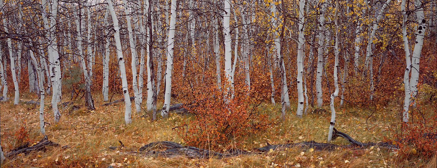 Cathedral Aspens Panorama