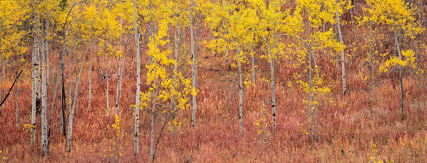 Aspen Gold and Pink undergrowth, Grand Tetons