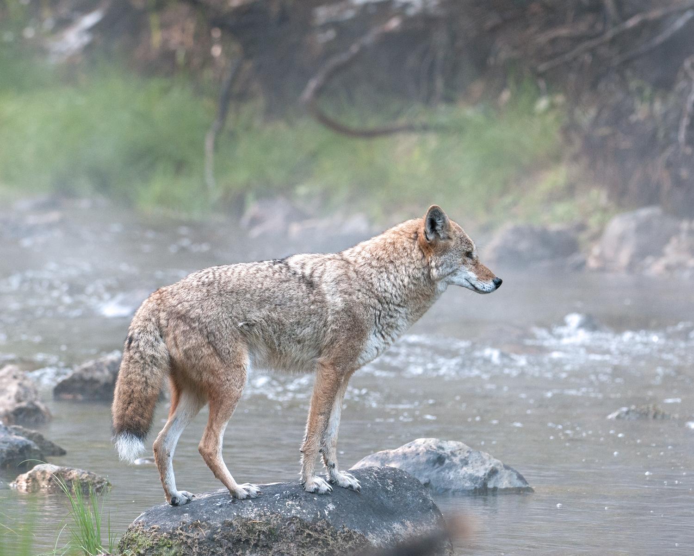 Alpha Coyote in Mist, Taylor Creek, Lake Tahoe