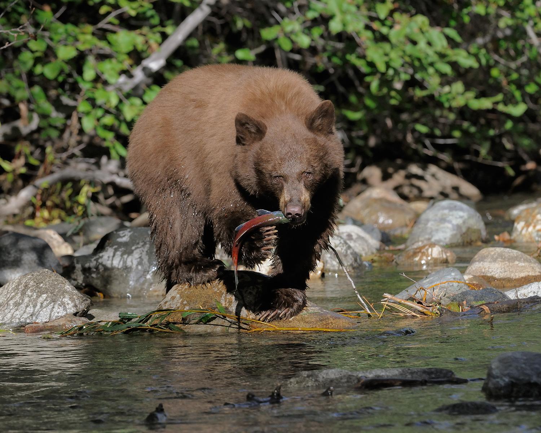 Black Bear with Salmon, Taylor Creek, Lake Tahoe