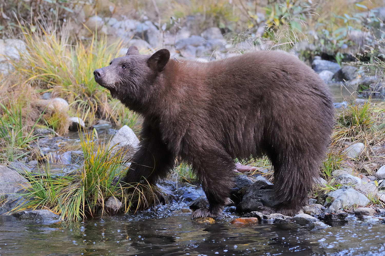 Black Bear in Taylor Creek, Lake Tahoe