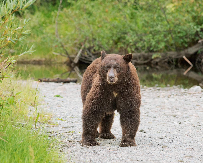 Black Bear on Riverbank, Lake Tahoe