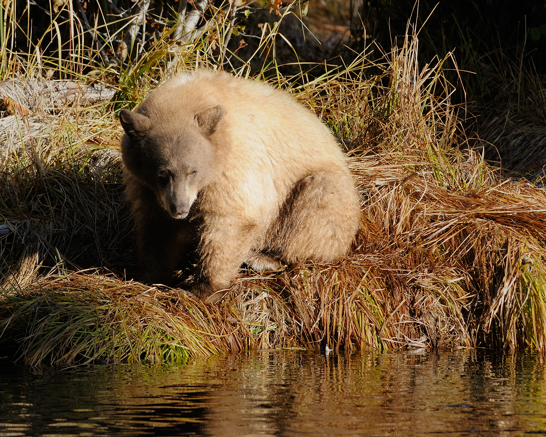 Blond Bear Reflecting, Lake Tahoe