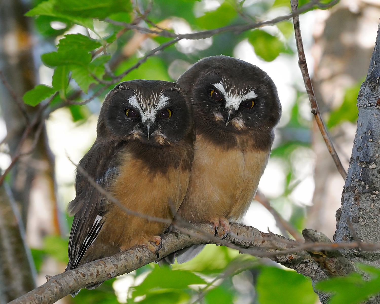 Northern Saw-Whet Owl Fledgelings on Branch, Lake Tahoe