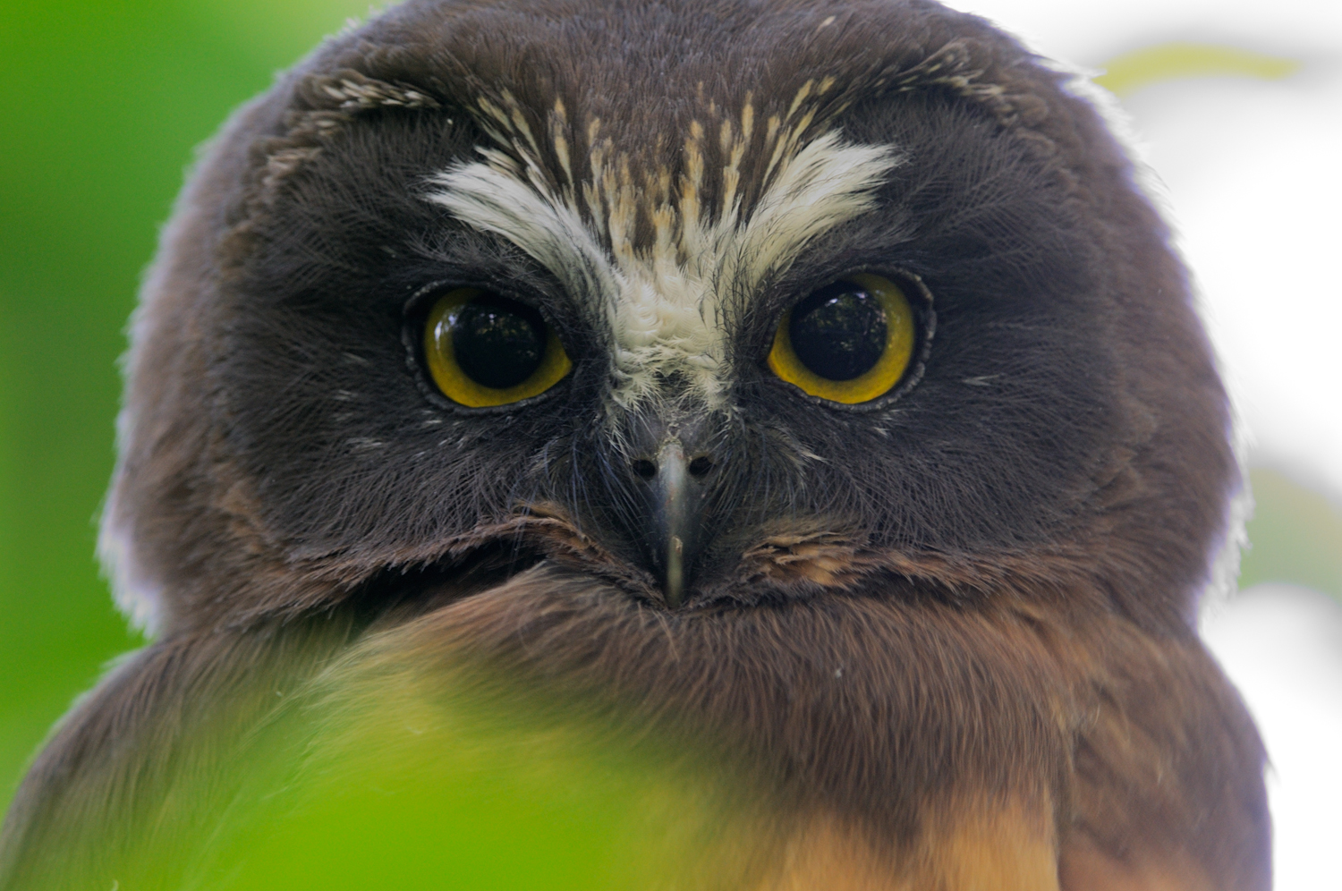 Northern Saw-Whet Owl Fledgeling Portrait, Lake Tahoe