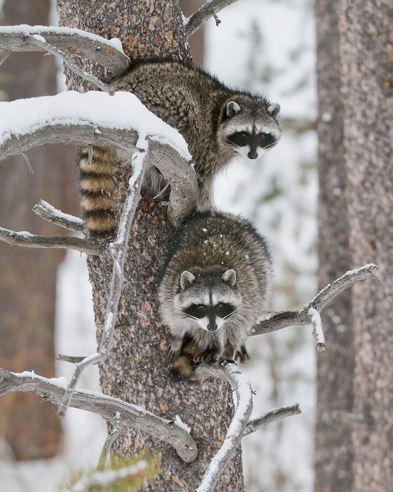 Raccoons in Pine Tree, Winter, Lake Tahoe