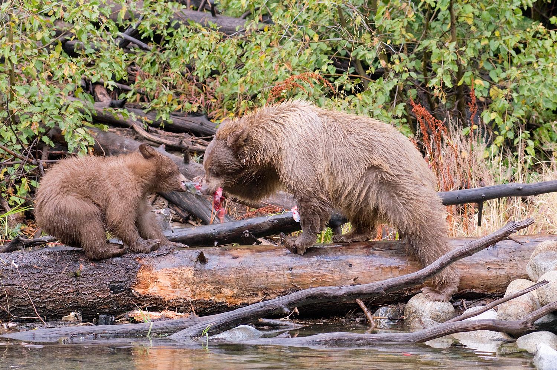 Tug-O-War, Sow and Cub, Taylor Creek, Lake Tahoe