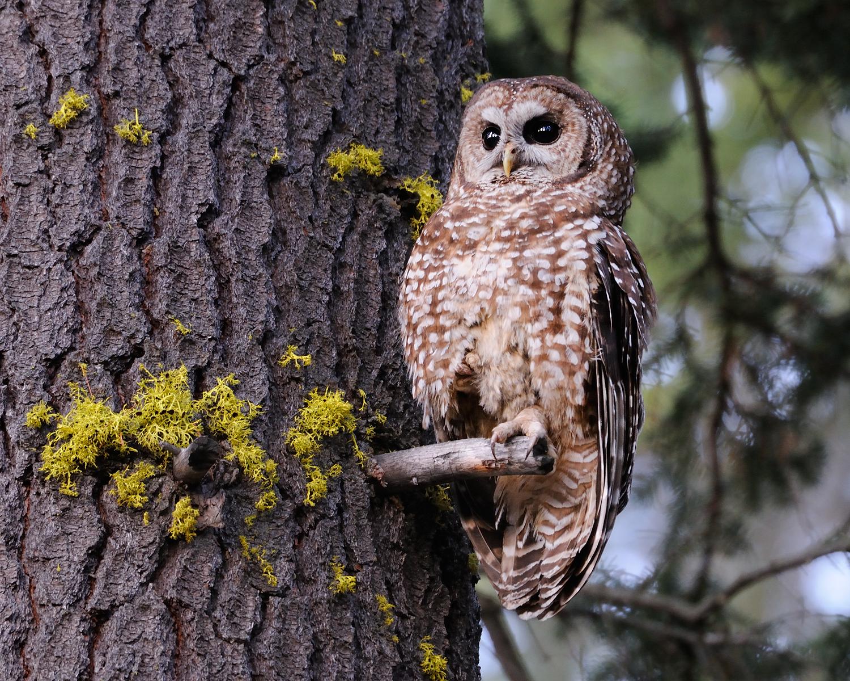 Spotted Owl II, Lake Tahoe