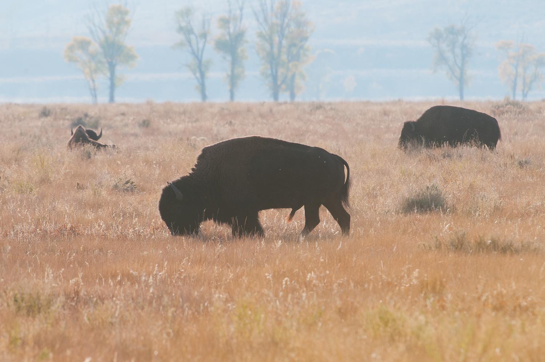 Backlit Bison in Morning Haze, Grand Teton national Park