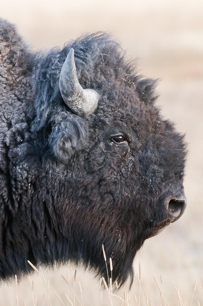 Bison Portrait, West Yellowstone, Yellowstone National Park, Montana