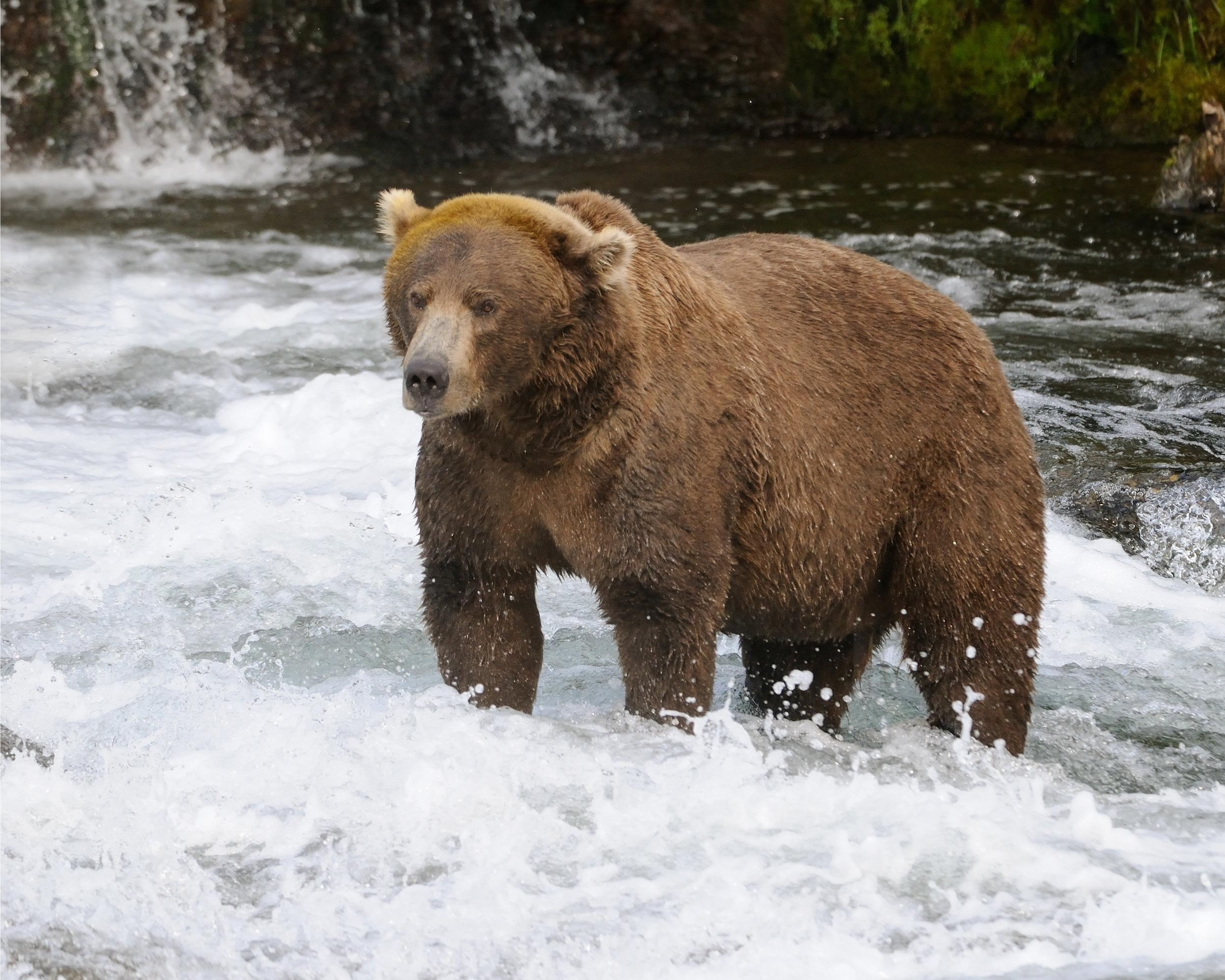 Big Brown Bear Fishing, Brooks River, Katmai, Alaska
